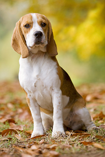DOG 06 JE0033 01 © Kimball Stock Beagle Sitting In Grass With Fallen Leaves