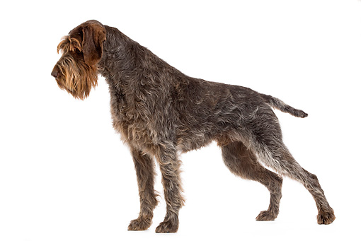 DOG 06 JE0035 01 © Kimball Stock Wirehaired Pointing Griffon Standing On White Seamless Profile