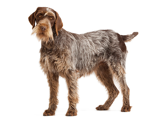 DOG 06 JE0036 01 © Kimball Stock Wirehaired Pointing Griffon Standing On White Seamless