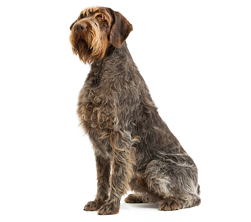 DOG 06 JE0037 01 © Kimball Stock Wirehaired Pointing Griffon Sitting On White Seamless