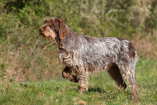 DOG 06 JE0038 01 © Kimball Stock Wirehaired Pointing Griffon Standing In Grass Field Profile