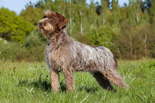 DOG 06 JE0039 01 © Kimball Stock Wirehaired Pointing Griffon Standing In Grass Field