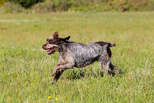 DOG 06 JE0040 01 © Kimball Stock Wirehaired Pointing Griffon Running Through Grass Field