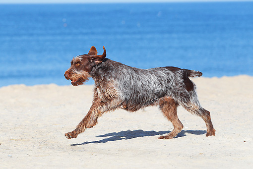 DOG 06 JE0042 01 © Kimball Stock Wirehaired Pointing Griffon Running On Beach