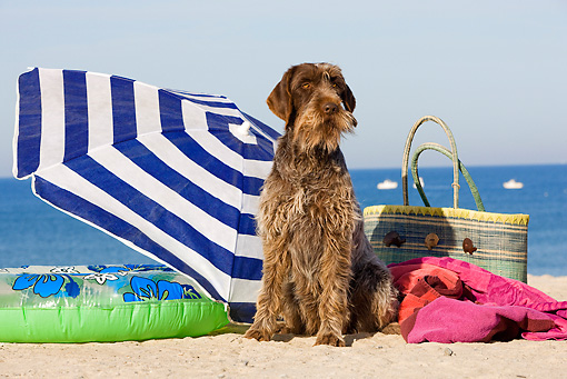 DOG 06 JE0044 01 © Kimball Stock Wirehaired Pointing Griffon Sitting On Beach By Umbrella And Beach Bag