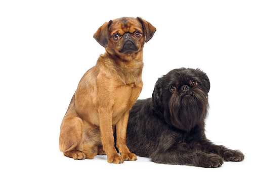 DOG 06 JE0055 01 © Kimball Stock Small Brabant Griffon And Brussels Griffon On White Seamless