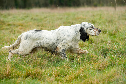 DOG 06 JE0056 01 © Kimball Stock English Setter On Point In Field