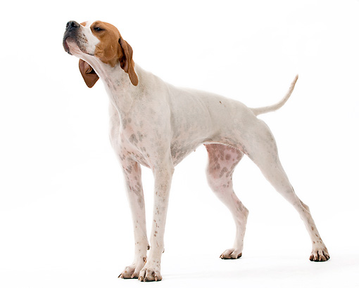 DOG 06 JE0057 01 © Kimball Stock Pointer Standing On White Seamless