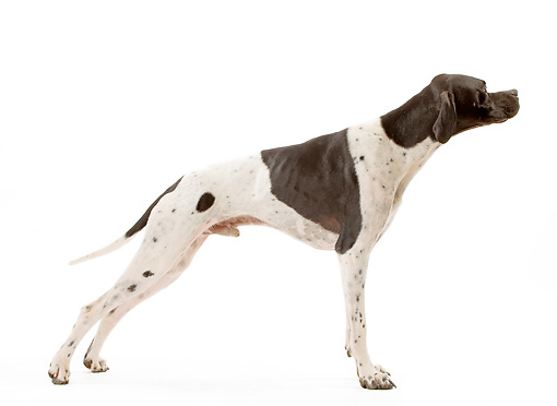 DOG 06 JE0058 01 © Kimball Stock Pointer Standing On White Seamless Profile