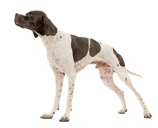 DOG 06 JE0059 01 © Kimball Stock Pointer Standing On White Seamless