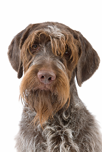 DOG 06 JE0060 01 © Kimball Stock Head Shot Of Wirehaired Pointing Griffon On White Seamless