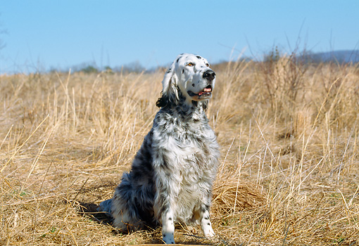 DOG 06 JN0002 01 © Kimball Stock English Setter Sitting In Meadow