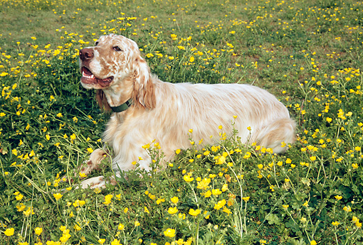 DOG 06 JN0003 01 © Kimball Stock English Setter Laying In Field Of Buttercups