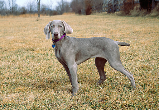 DOG 06 JN0004 01 © Kimball Stock Weimaraner Standing On Grass Field