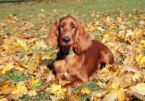 DOG 06 JN0005 01 © Kimball Stock Irish Setter Laying On Grass And Autumn Leaves