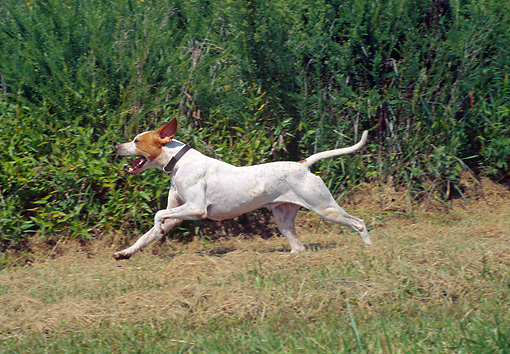 DOG 06 JN0009 01 © Kimball Stock English Pointer Running Through Gass
