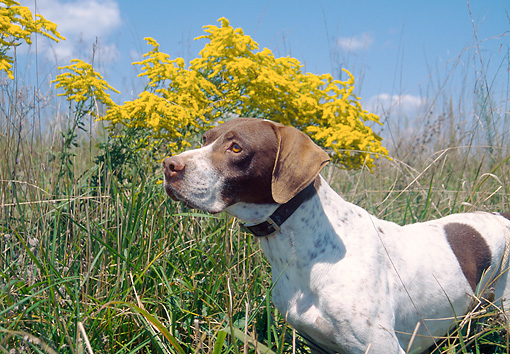 DOG 06 JN0010 01 © Kimball Stock English Pointer Standing In Tall Grass By Yellow Blossoms