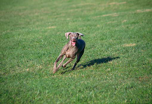 DOG 06 JN0012 01 © Kimball Stock Weimaraner Running On Grass Field