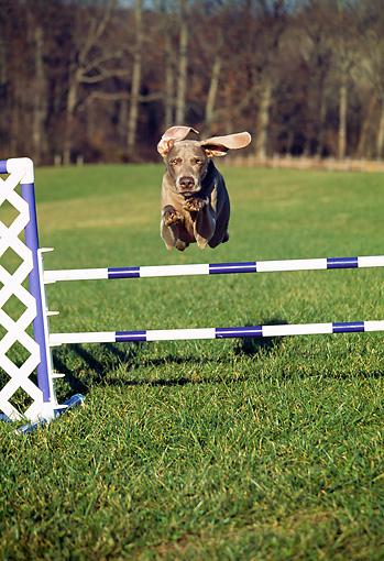 DOG 06 JN0014 01 © Kimball Stock Weimaraner Jumping Over Pole On Grass Field
