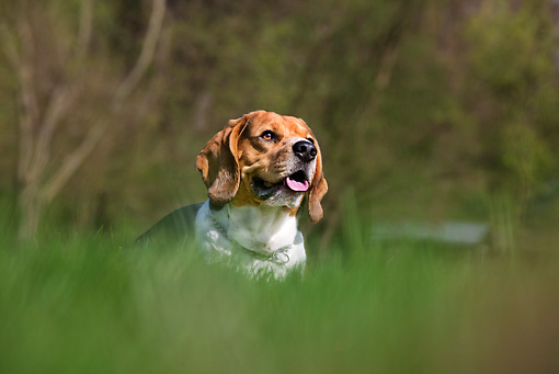DOG 06 JS0003 01 © Kimball Stock Beagle Standing In Tall Grass