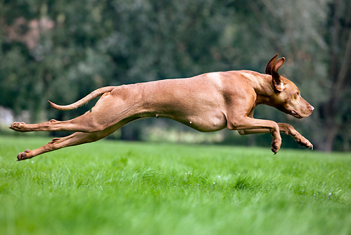 DOG 06 JS0006 01 © Kimball Stock Vizsla Running Through Grass Profile