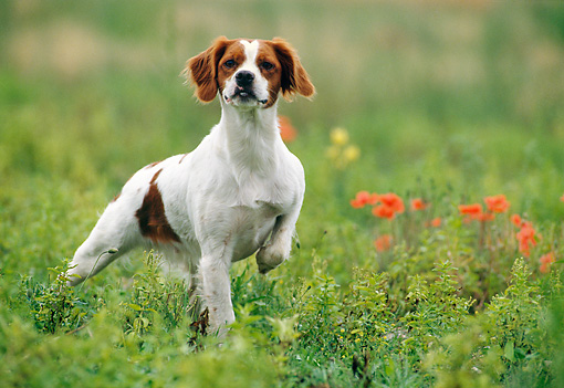 DOG 06 KH0028 01 © Kimball Stock Brittany Spaniel Walking On Grass Field