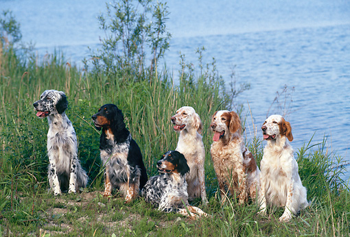 DOG 06 KH0034 01 © Kimball Stock Group Of English Setters Sitting In Grass Near Water
