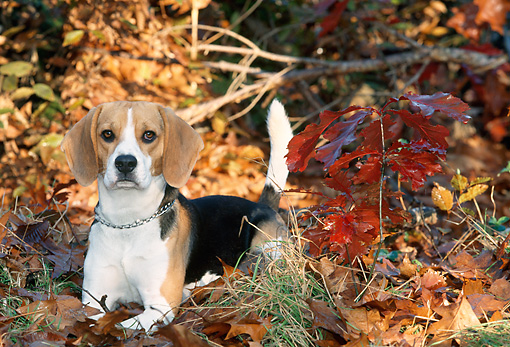 DOG 06 KH0035 01 © Kimball Stock Beagle Laying In Fallen Leaves