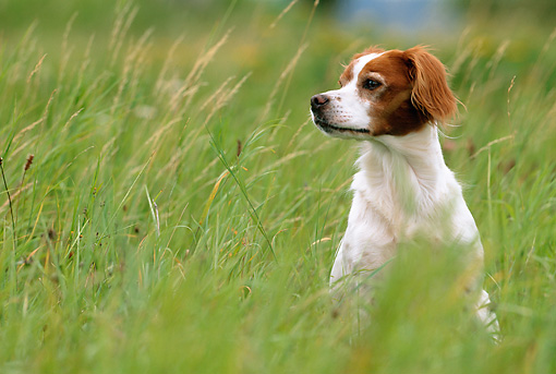 DOG 06 KH0037 01 © Kimball Stock Brittany Spaniel Sitting In Tall Grass