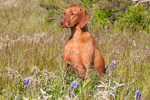 DOG 06 LS0033 01 © Kimball Stock Vizsla Sitting In Field Of Tall Grass With Purple Flowers