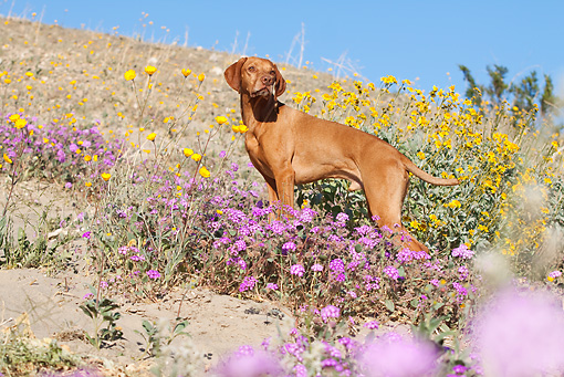 DOG 06 LS0035 01 © Kimball Stock Vizsla Standing On Hillside In Desert By Yellow And Purple Flowers