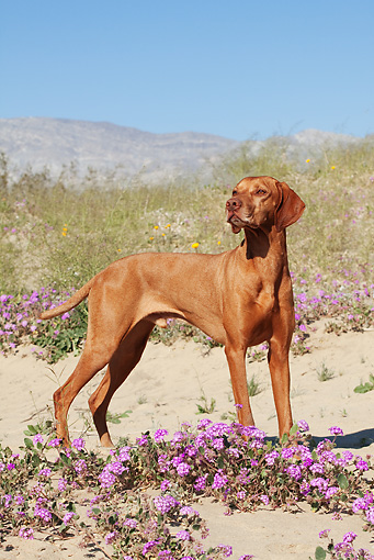 DOG 06 LS0037 01 © Kimball Stock Vizsla Standing In Desert By Purple Flowers