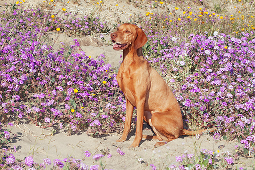 DOG 06 LS0038 01 © Kimball Stock Vizsla Sitting In Desert By Purple And Yellow Flowers