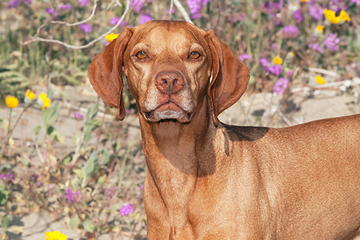 DOG 06 LS0040 01 © Kimball Stock Close-Up Of Vizsla Standing In Desert By Purple And Yellow Flowers