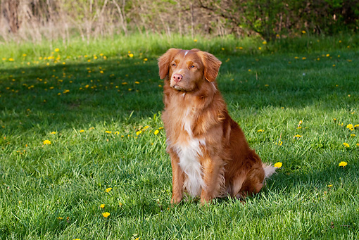 DOG 06 LS0041 01 © Kimball Stock Nova Scotia Duck Tolling Retriever Sitting On Grass
