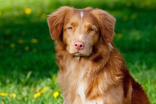 DOG 06 LS0042 01 © Kimball Stock Head Shot Of Nova Scotia Duck Tolling Retriever Sitting On Grass