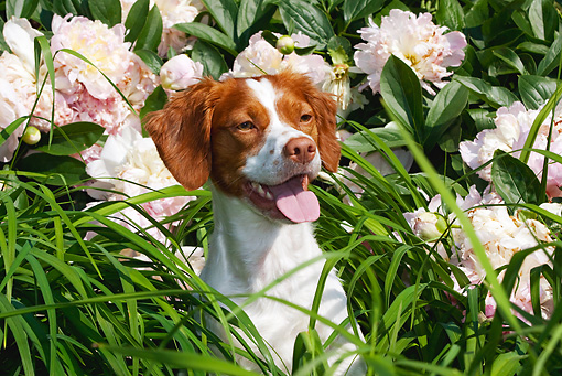 DOG 06 LS0043 01 © Kimball Stock Head Shot Of Brittany Sitting In Tall Grass By Pink Flowers