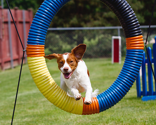 DOG 06 LS0045 01 © Kimball Stock Brittany Jumping Through Agility Hoop On Grass