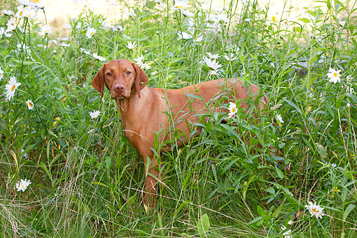 DOG 06 LS0046 01 © Kimball Stock Vizsla Standing In Grass With Daisies