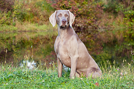 DOG 06 LS0047 01 © Kimball Stock Weimaraner Sitting In Dew-Wet Clover By Edge Of Pond