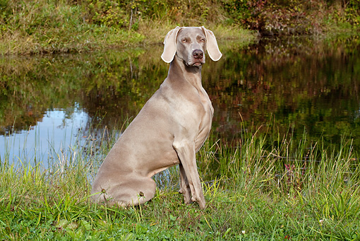 DOG 06 LS0048 01 © Kimball Stock Weimaraner Sitting In Dew-Wet Clover By Edge Of Pond