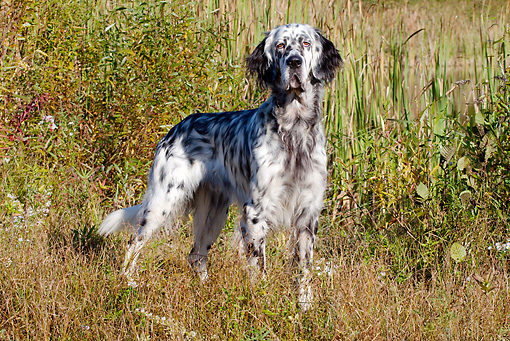 DOG 06 LS0053 01 © Kimball Stock English Setter Standing In Dry Grass By Edge Of Pond