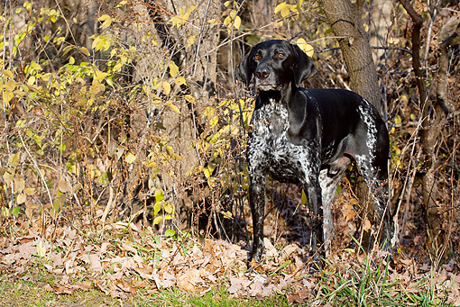 DOG 06 LS0055 01 © Kimball Stock German Shorthaired Pointer Standing In Brush