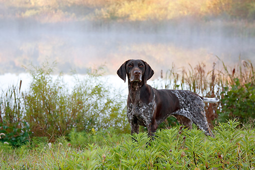 DOG 06 LS0064 01 © Kimball Stock German Shorthaired Pointer Standing In Grass By Pond