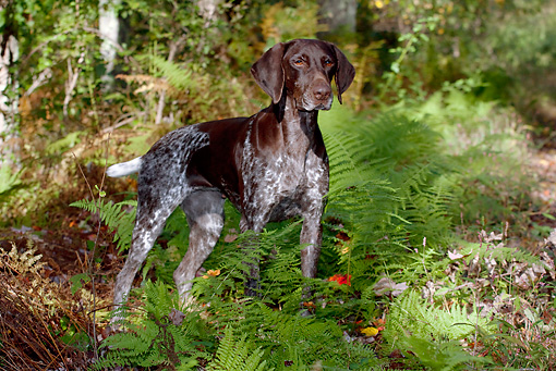 DOG 06 LS0065 01 © Kimball Stock German Shorthaired Pointer Standing In Woods