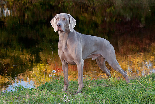 DOG 06 LS0067 01 © Kimball Stock Weimaraner Standing By Edge Of Pond In Autumn