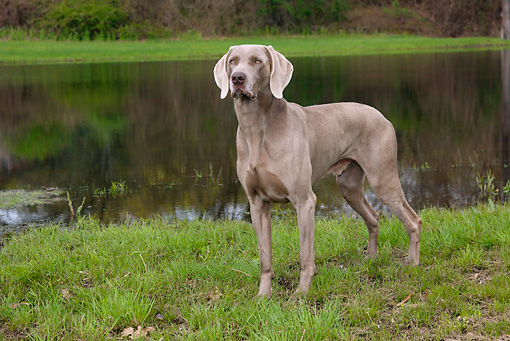 DOG 06 LS0073 01 © Kimball Stock Weimaraner Male Standing On Grass By Pond