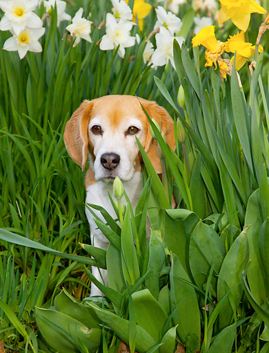 DOG 06 LS0074 01 © Kimball Stock Beagle Sitting By Daffodils