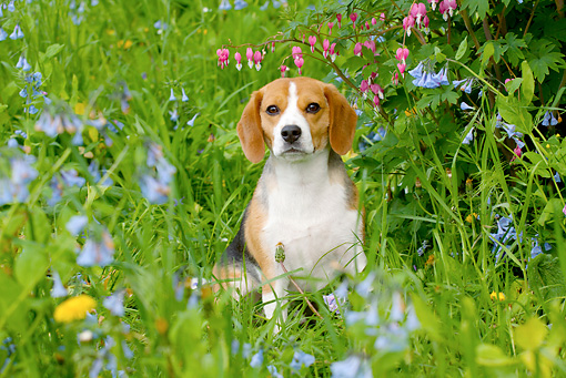 DOG 06 LS0076 01 © Kimball Stock Beagle Sitting In Grass And Wildflowers