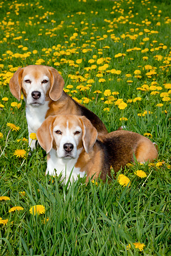 DOG 06 LS0082 01 © Kimball Stock Two Beagles In Field Of Dandelions